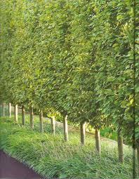 Backyard Trees Landscaping Ideas by Privacy Trees Hornbeams U2026 U2026 Pinteres U2026