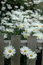 21 best daisies images on pinterest daisy flowers flowers