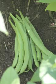 1065 best phaseolus images on pinterest vegetables runner beans