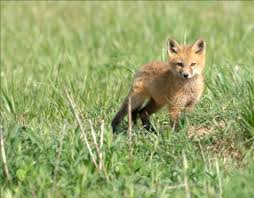 Ohio wildlife images Red fox jpg