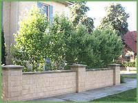 everscreen ornamental pear hello hello plants garden supplies