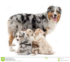 sheltie x australian shepherd mother australian shepherd with three puppies royalty free stock