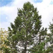 douglas fir tree douglasfir tree on the tree guide at arborday org