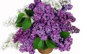 Lilac Flower by Flori De Liliac Lilac Flowers Youtube