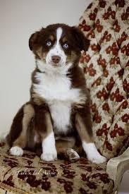 australian shepherd look alike 14 best pups images on pinterest toy australian shepherd toys