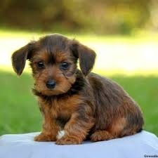 puppies for sale dorkie puppies for sale dorkie breed profile greenfield