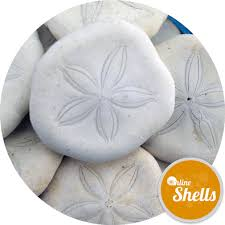 where to buy sand dollars craft pack sand dollars online shells buy sea shells