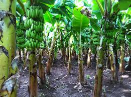 bananas on tree how to grow banana plants with pictures wikihow