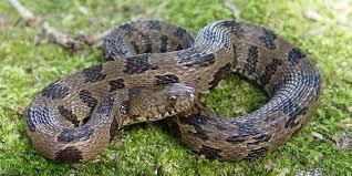 Snake Holes In Backyard Living Alongside Wildlife Cottonmouth Myths I Snakes Dropping