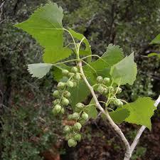 Cottonwood Tree Flowers - seinet arizona chapter populus fremontii