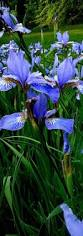 31 best we u0027ve got the blues images on pinterest flowers garden