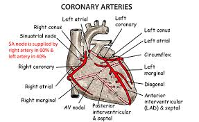 Heart Anatomy Arteries Heart Anatomy