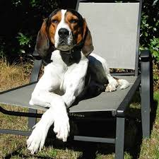bluetick coonhound dander treeing walker coonhound breed guide learn about the treeing