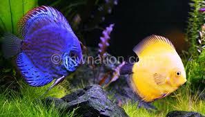 Buy Ornamental Fish Ornamental Fish Exports 20 The Nation