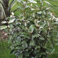 arbuste feuillage pourpre persistant arbustes à feuillage décoratif plantes et jardins