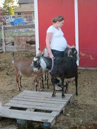 my blahg pregnancy and goat kids