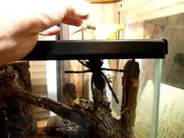 ghost ornamental tarantula feeding 1