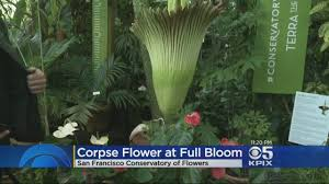 stinky corpse flowers bloom first time in a decade cbs san francisco