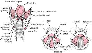 Interior Medical Term Larynx Definition Of Larynx By Medical Dictionary