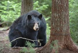 New York Wildlife images New york considering allowing baiting trapping hounding bears jpg