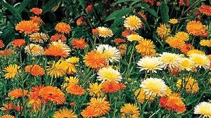 Calendula Flowers Gardening Australia Plant Profile Calendula