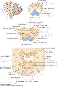 Pyramids Of The Medulla The Brain Stem And Cerebellum Clinical Neuroanatomy 28e