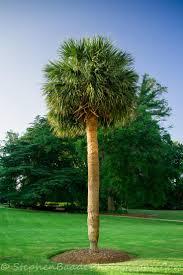 south carolina native plants 67 best palmetto tree images on pinterest south carolina palms