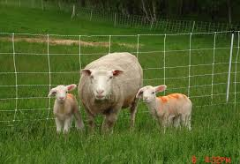 the tamarack breed tamarack lamb u0026 wool
