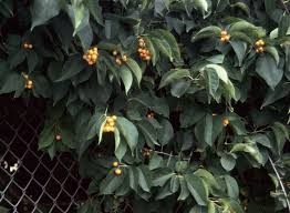 Non Invasive Climbing Plants - perennial vines vines climbers u0026 twiners u of i extension