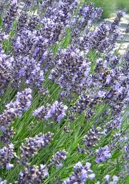 native english plants how to plant and care for lavender in the southeast state by