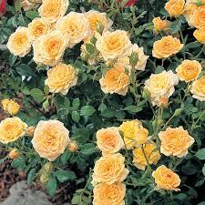yellow climbing rose at thompson morgan