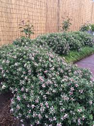 hedging plants budget wholesale nursery daphne spring pink eternal fragrance pink flower hedge garden