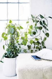 indoor climbing plants