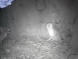 Where Does The Barn Owl Live Kestrel And Barn Owl Fight Out For Squatter U0027s Rights To Same Nest