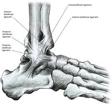 Anterior Tibiofibular Ligament Injury Ankle Foot Disorders Jacksonville Physical Therapy Rehab