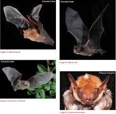 bats mammalia chiroptera of the southeastern truong son