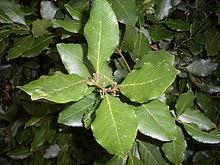 laurier cuisine laurus nobilis wikivisually