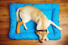 Leg Pain Going Down Stairs by Leg In Dogs Symptoms Causes Diagnosis Treatment Recovery
