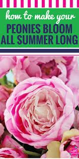 Peonies Season How To Make Your Peonies Bloom All Summer