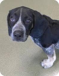 bluetick coonhound puppies near me wallace adopted puppy 23997297 harrisonburg va basset