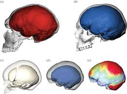 The Anatomy Of The Human Brain Brain Ontogeny And Life History In Pleistocene Hominins