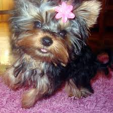 yorkie haircuts for a silky coat proper hair brushing options to untangle knots in a gentle manner