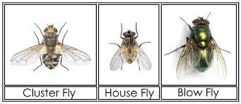 Flies In Backyard Cluster Flies U2013 Information Images U0026 How To Get Rid Of Them