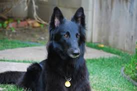 belgian sheepdog available belgian sheepdog puppies for sale