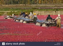 workers harvesting cranberries in cranberry bog delta bc canada