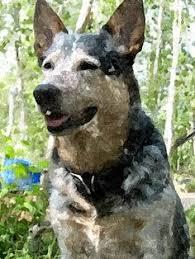 australian shepherd ultra marathon training cowdogz acd specific focus bad baby working with