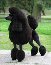 standard poodle hair styles 15 poodles with better hairstyles than you