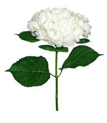 white hydrangea hydrangea 36 stems