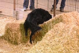 dog barn barn hunt matrix dog training broomfield colorado barn hunt
