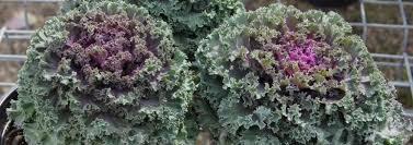 flowering cabbage ornamental kale collard cole brassica